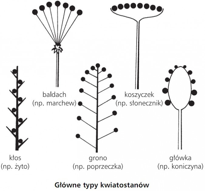 Główne typy kwiatostanów