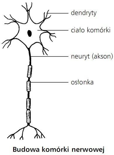 Budowa komórki nerwowej. Dendryty, ciało komórki, neuryt (akson), osłonka.