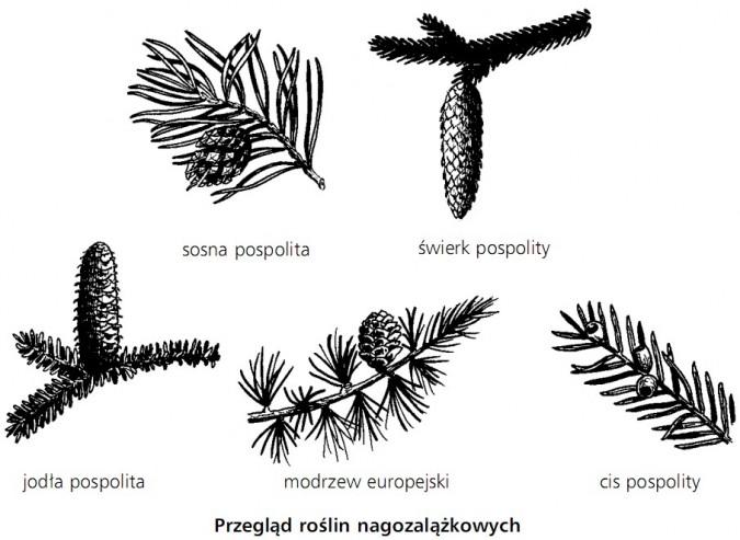Przegląd roślin nagozalążkowych. Sosna pospolita, świerk pospolity, jodła pospolita, modrzew europejski, cis pospolity.