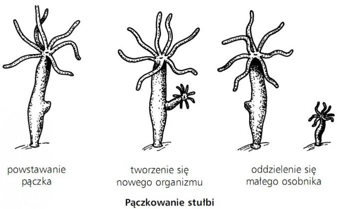 Pączkowanie stułbi. Powstawanie pączka, tworzenie się nowego organizmu, oddzielenie się małego osobnika.
