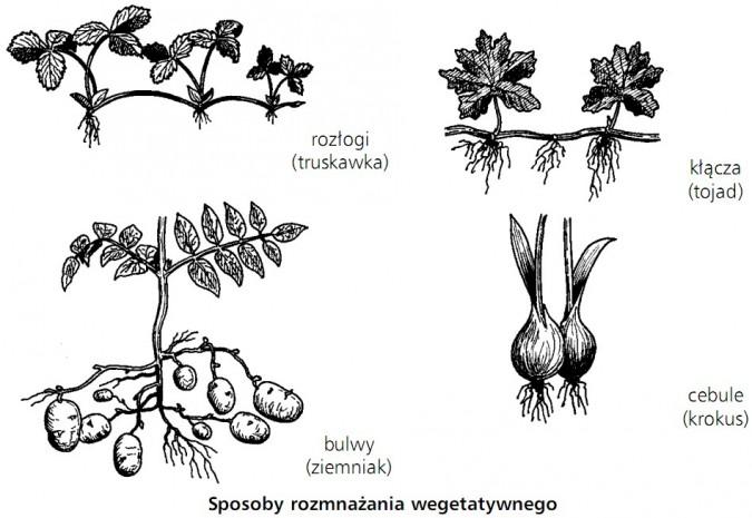 Sposoby rozmnażania wegetatywnego. Rozłogi (truskawka), kłącza (tojad), bulwy (ziemniak), cebule (krokus).