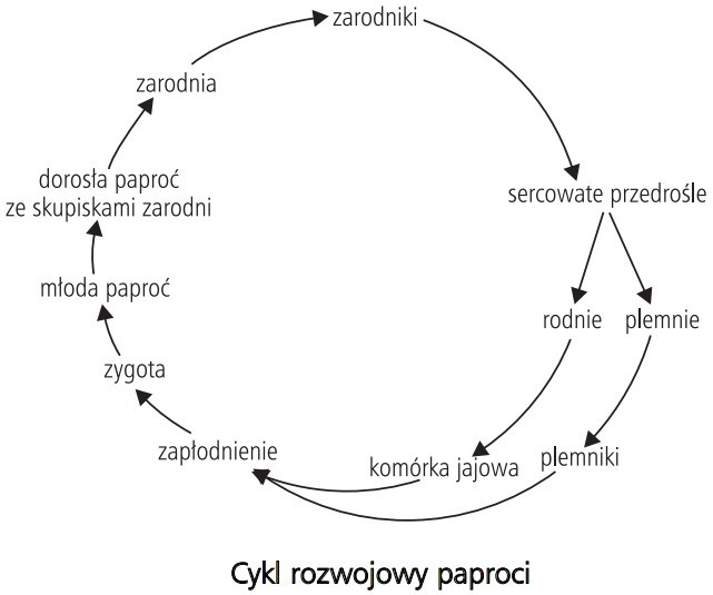 Cykl rozwojowy paproci. Zarodniki, sercowate przedrośle, rodnie, plemnie, komórka jajowa, plemniki, zapłodnienie, zygota, młoda paproć, dorosła paproć ze skupiskami zarodni, zarodnia.