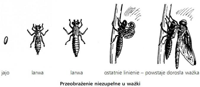 Przeobrażenie niezupełne u ważki. Jajo, larwa, larwa, ostatnie linienie, powstaje dorosła ważka.