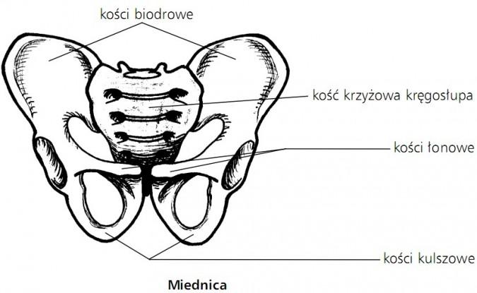 Miednica. Kości biodrowe, kość krzyżowa kręgosłupa, kości łonowe, kości kulszowe.