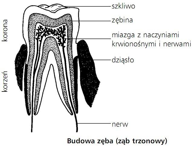Budowa zęba (ząb trzonowy). Korzeń, korona. Szkliwo, zębina, miazga z naczyniami krwionośnymi i nerwami, dziąsło, nerw.