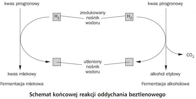 Schemat końcowej reakcji oddychania beztlenowego. Kwas pirogronowy, kwas mlekowy, alkohol etylowy, zredukowany nośnik wodoru, utleniony nośnik wodoru. Fermentacja mlekowa, fermentacja alkoholowa.