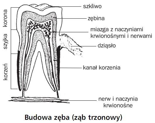 Budowa zęba (ząb trzonowy). Korona, szyjka, korzeń. Szkliwo, zębina, miazga z naczyniami krwionośnymi i nerwami, dziąsło, kanał korzenia, nerw i naczynia krwionośne.
