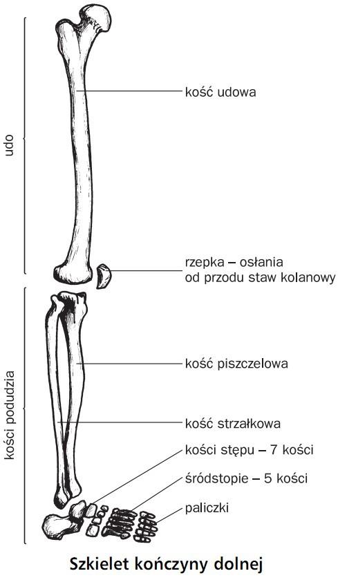 Szkielet kończyny dolnej. Udo, kości podudzia. Kość udowa, rzepka - osłania od przodu staw kolanowy, kośc piszczelowa, kość strzałkowa, kości stępu (7 kości), śródstopie (5 kości), paliczki.