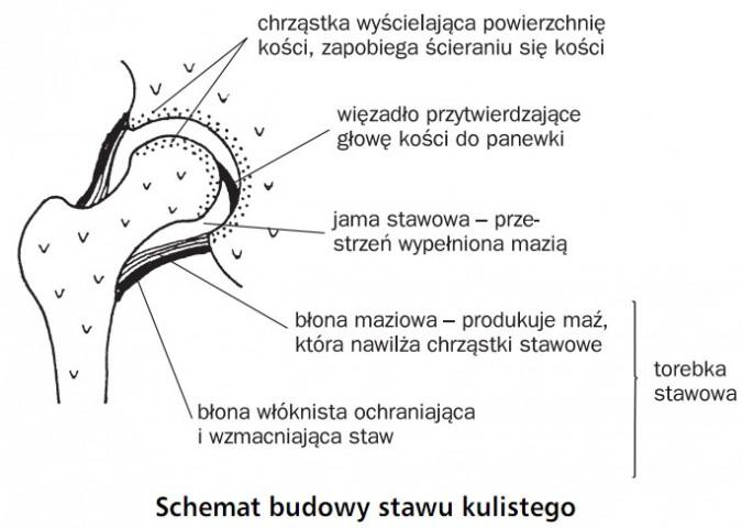 Schemat budowy stawu kulistego. Chrząstka wyścielająca powierzchnię kości, zapobiega ścieraniu się kości. Więzadło przytwierdzające głowę kości do panewki. Jama stawowa - przestrzeń wypełniona mazią. Błona maziowa - produkuje maź, która nawilża chrząstki stawowe. Błona włóknista ochraniająca i wzmacniająca staw. Torebka stawowa.