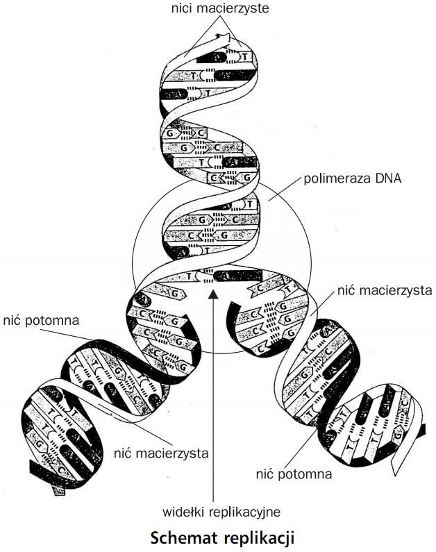 Schemat replikacji. Nici macierzyste, nić potomna, polimeraza DNA, nić macierzysta, widełki replikacyjne.
