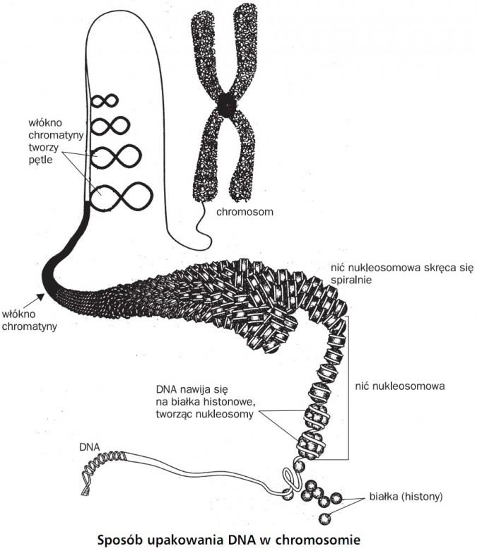 Sposób upakowania DNA w chromosomie. Włókno chromatyny tworzy pętle, chromosom, włókno chromatyny, nić nukleosomowa skręca się spiralnie, DNA nawija się na białka histonowe, tworząc nukleosomy, nić nukleosomowa, białka (histony), DNA.